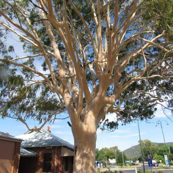 White bark tree in Wellington