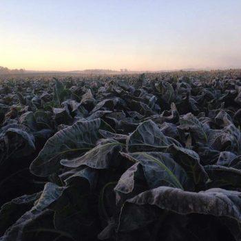 Frosty morning on the caullie patch