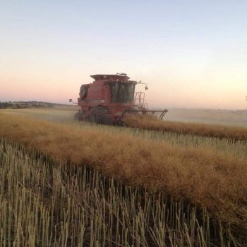 Canola harvest at Wombat
