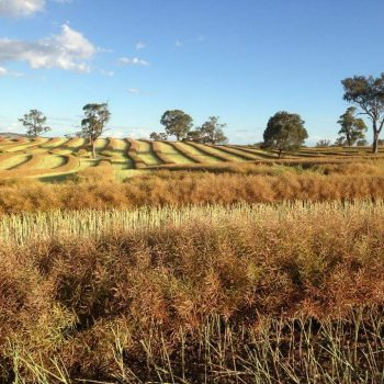 Canola Windrowed at Wombat