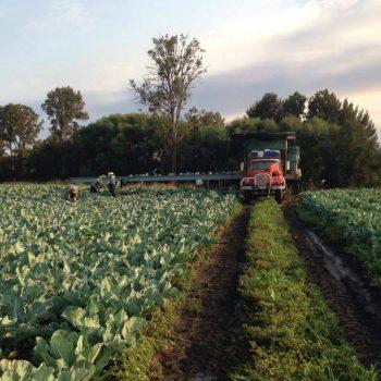 Picking Cauliflowers in Bathurst